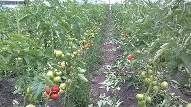 Наш урожай помидорчиков☺