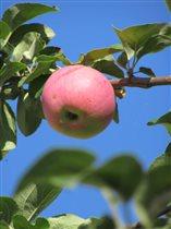 Сочное, спелое и аппетитное яблочко