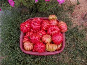 Сорт томата Грибное лукошко середина сентября 2015