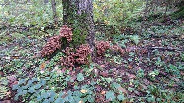 А грибов видимо - невидимо!