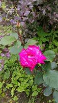 дача_розы от Helen_sun&