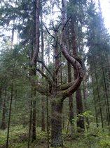 Суровое сердце леса.