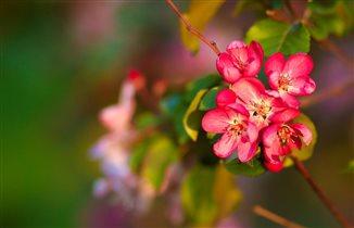 Яблоня в цвету!
