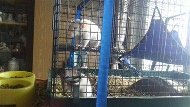 Крысы Канди (белая) и Лакша (серая)
