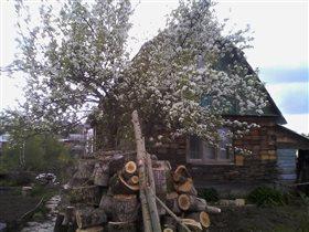 Уральская красавица-груша.