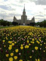 Расцвели тюльпаны ярким покрывалом.