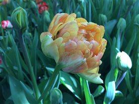 Роскошный пионовидный тюльпан