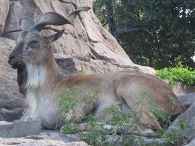 Винторогий козёл мархур