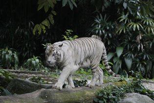 Белеет тигр одинокий