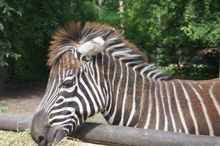 Просто зебра