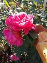 17 октября вот так цвет еще Rosarium Uetersen