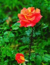 Ароматная, грациозная и гордая наша любимая роза!