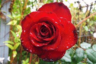 Роза сада королева - любованью нет предела!