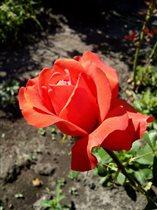 Блиц: розы