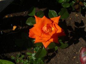 Роза нашего сада!!!