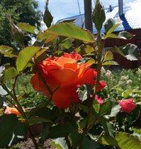 Пройдемте в сад? Я покажу вас розам:) (Р. Шерид)