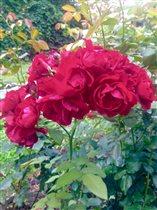 Красавицы розы