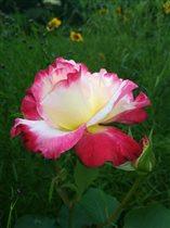 Роза.А аромаат.....