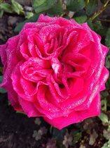 Блиц:Роза