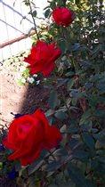 Последнии денёчки наслождения аромата прекрасных с