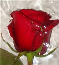 Красная роза-эмблема любви)