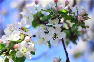 цветущая яблоня  (Да, на Кубани весна ранняя)