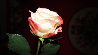 Январьская роза.
