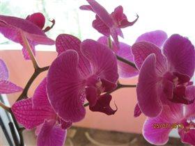 красавица орхидея