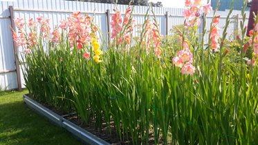 Так цветут гладиолусы