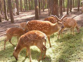Красавцы олени