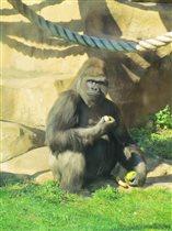 Выходила к ним горилла...