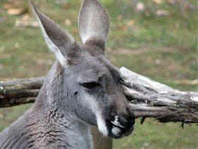 Грустный кенгуру