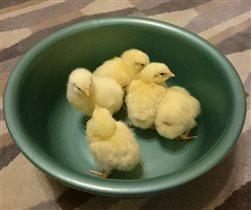 Наши цыплята