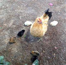 Цып-цып-цып, мои цыплятки