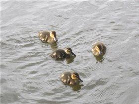 Утятки на пруду
