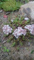 Почвопокровный мизерный очиточек в цветении