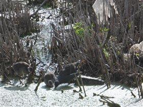 Птенцы камышницы. Очень редко такое видим.
