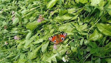 Бабочка в одуванчиках