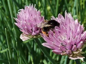 Пчела Майя