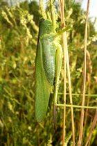 В траве сидел кузнечик, зелененький он был...