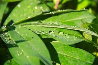 летняя роса в зелени