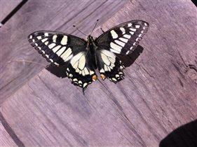 Редкая бабочка Махаона