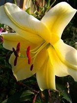 Раскошная лилия!!!
