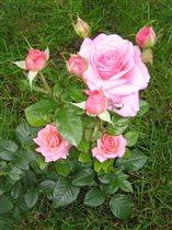 Розы прекрасные!