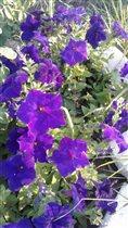 Петуньи-пышным цветом