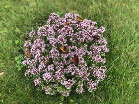 Душица в бабочках