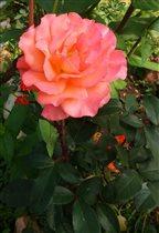 роза TEA TIME