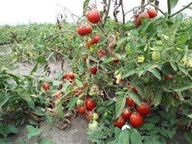 Как выращивают томаты и производят овощные консервы торговой марки 'Помидорка'