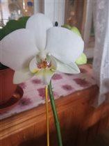 Моя первая орхидейка