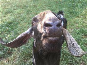 Англо-нубийский козел - мужчина самом расцвете сил